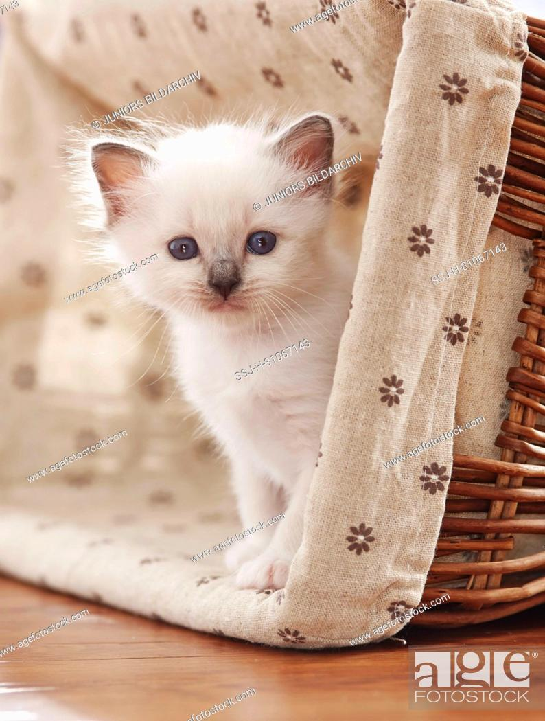 Stock Photo: Sacred cat of Burma. Kitten (4 weeks old) siiting in a basket. Germany.