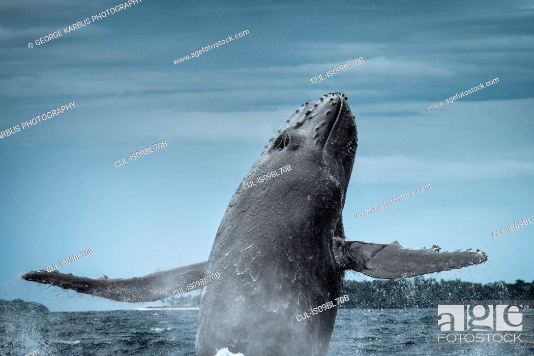 Stock Photo: Humpback whale (Megaptera novaeangliae), breaching, Tonga, Fiji.