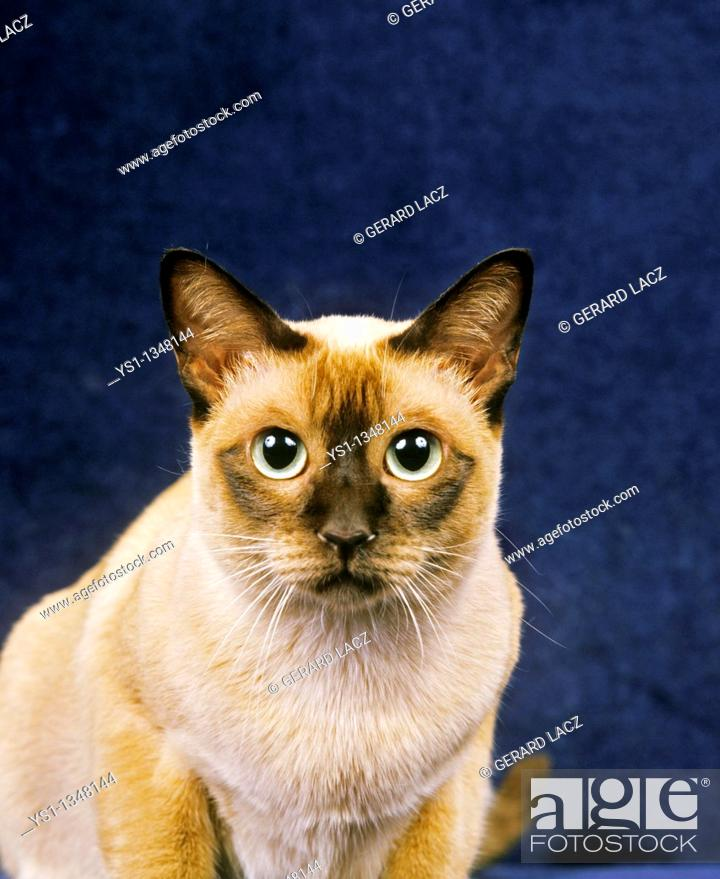 Stock Photo: TONKINESE DOMESTIC CAT, PORTRAIT OF ADULT.