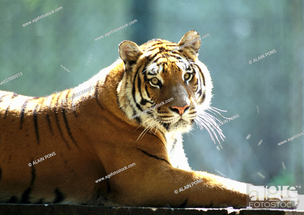 Stock Photo: India, tiger lying down.