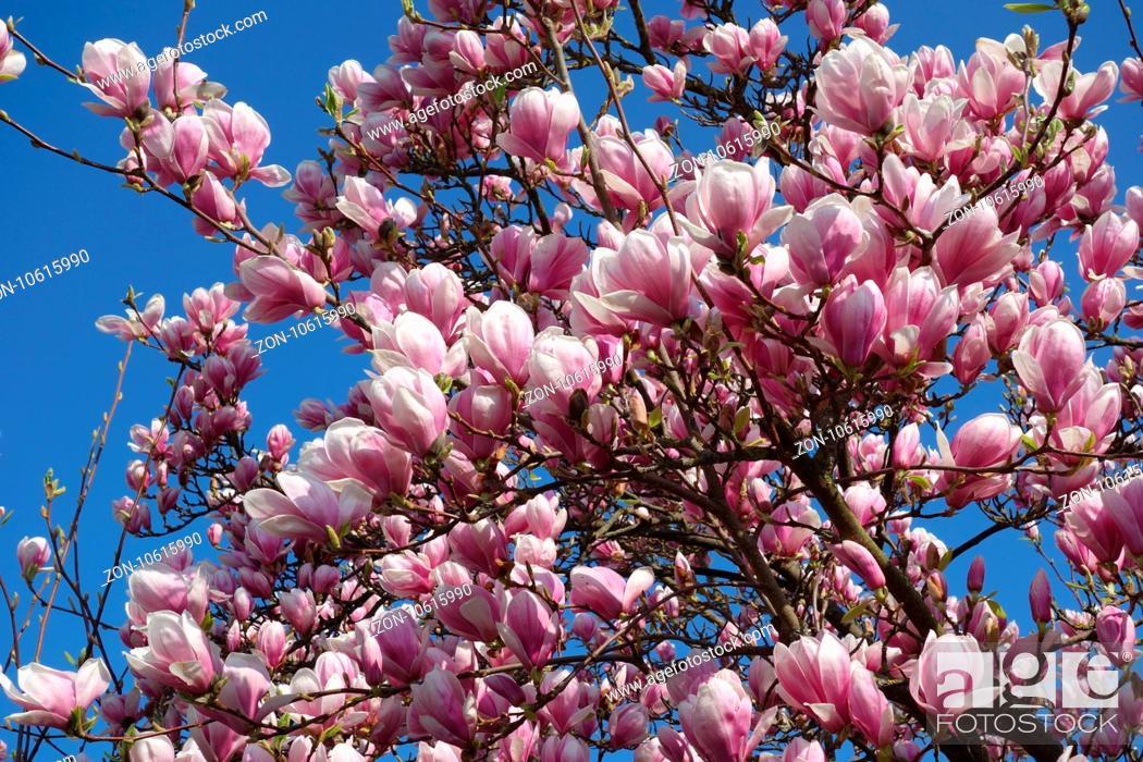 Magnolia X Soulangiana Nigra Purple Saucer Magnolia Stock Photo