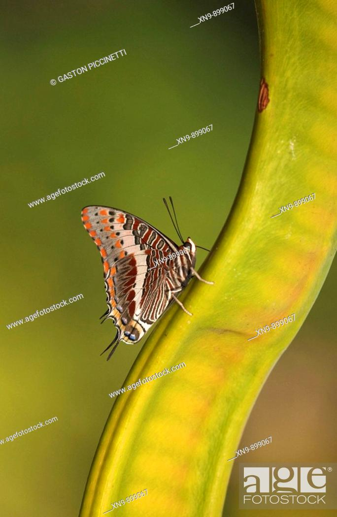 Stock Photo: Foxy charaxes  (Charaxes jasius), resting on Acacia seed, Namibia.