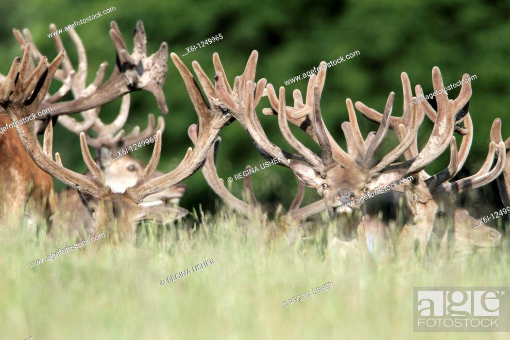 Stock Photo: Red Deer Cervus elaphus, herd of stags resting, Germany.