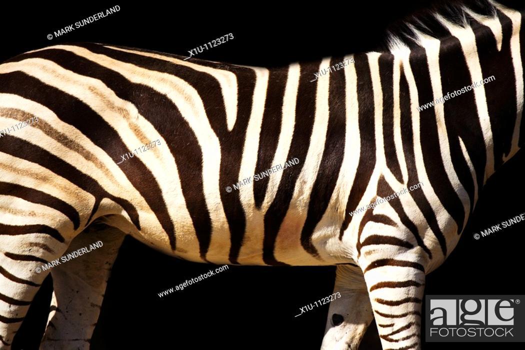 Stock Photo: Zebra Stripes Taronga Zoo Sydney New South Wales Australia.