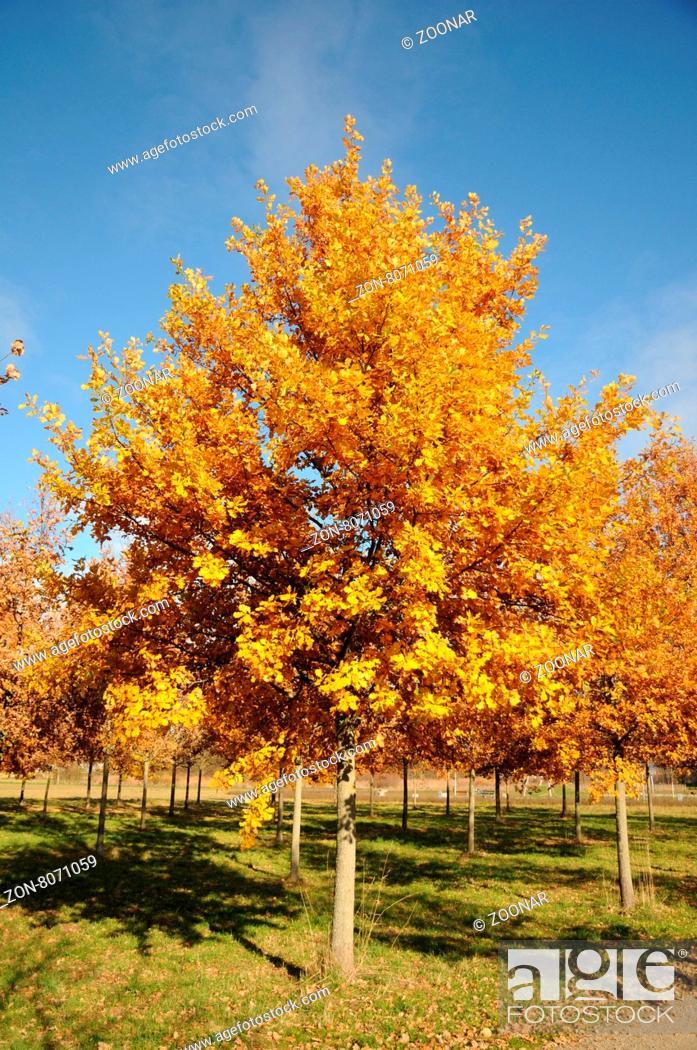 Quercus Robur Stieleiche German Oak Im Herbst Stock Photo