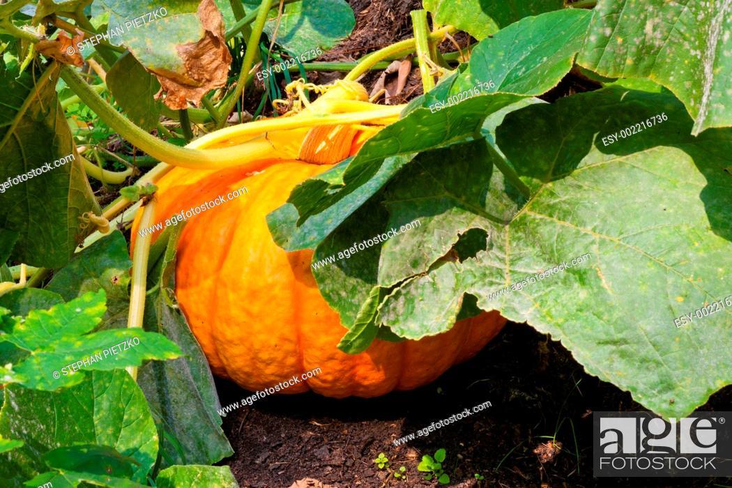 Stock Photo: Pumpkin Plant.