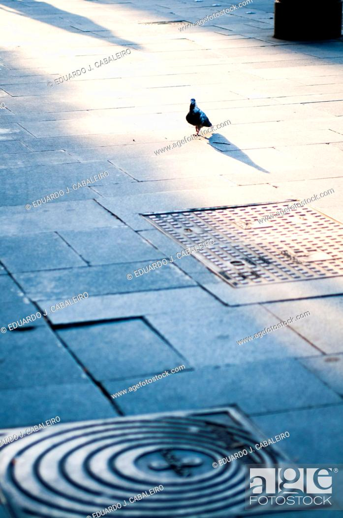 Stock Photo: pigeon on the street at dusk.