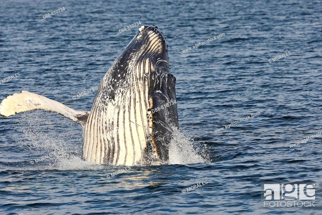 Stock Photo: Humpback whale (Megaptera novaeangliae) leaping into the air, rotating and landing on its back or side to create a chin-slap.