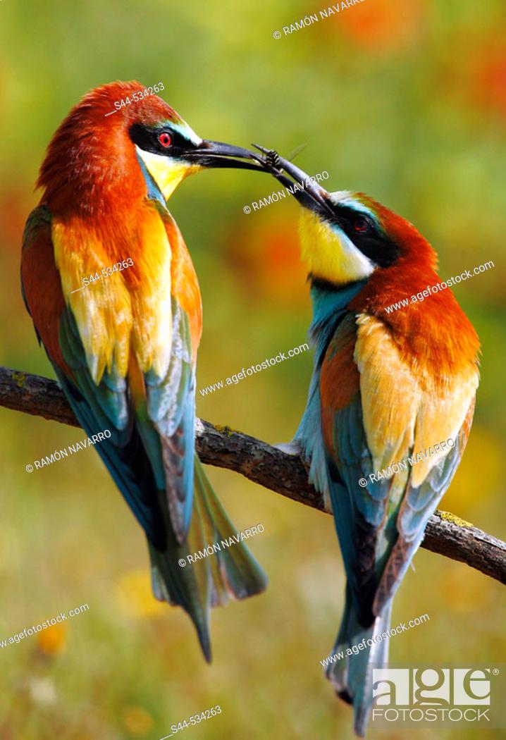 Stock Photo: European Bee Eater (Merops apiaster).