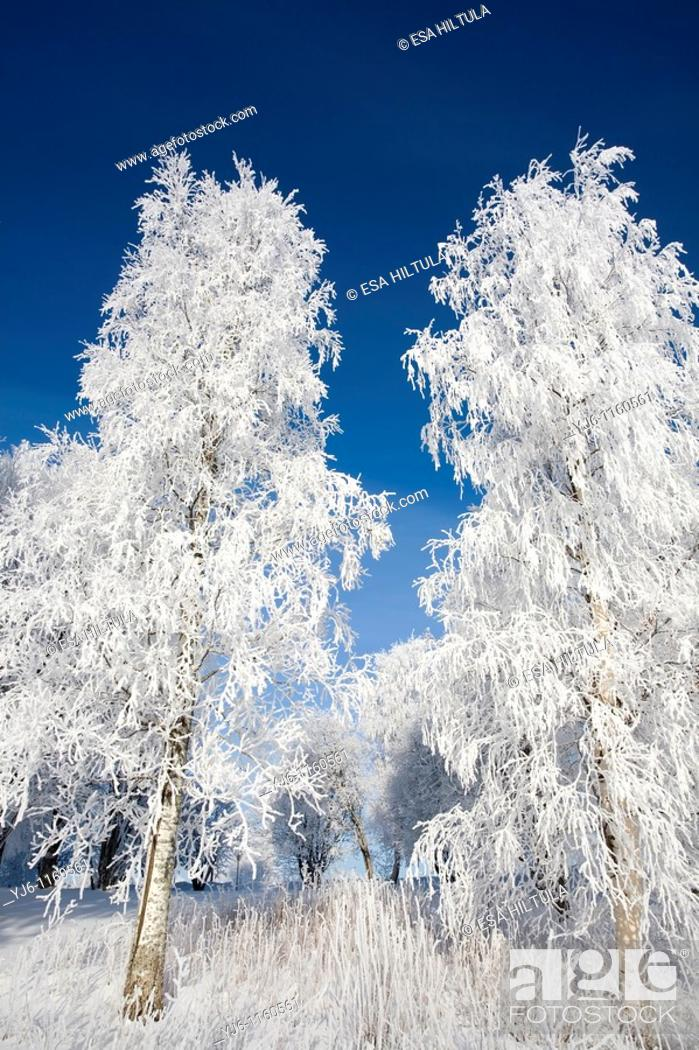Stock Photo: frosty birches against blue sky.