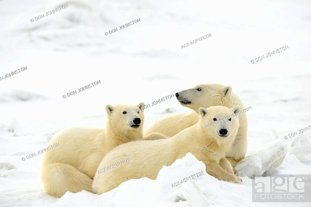 Stock Photo: Polar Bear (Ursus maritimus) Mother and yearling cubs resting along the Hudson Bay coast.