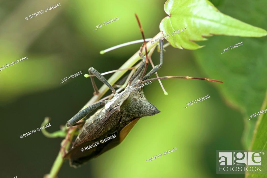 Stock Photo: Twig wilter (Holopterna alata).