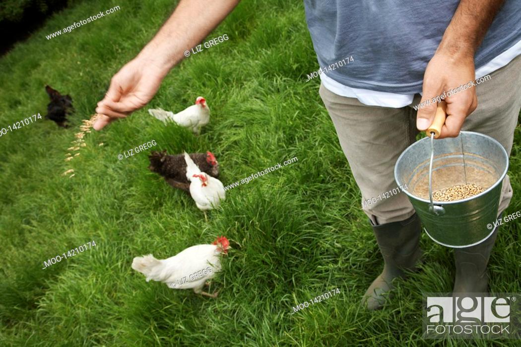 Stock Photo: Man feeding hens in garden low section elevated view.