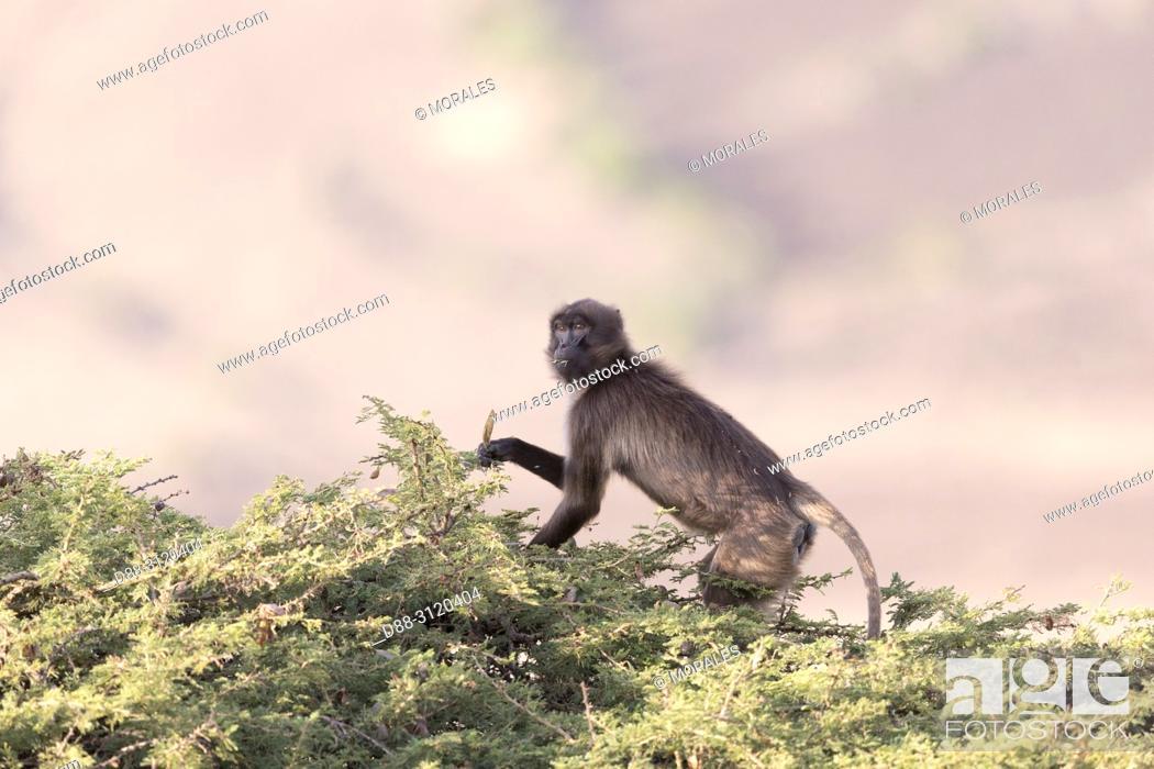 Stock Photo: Africa, Ethiopia, Rift Valley, Debre Libanos, Gelada or Gelada baboon (Theropithecus gelada), eating fruit of acacia.