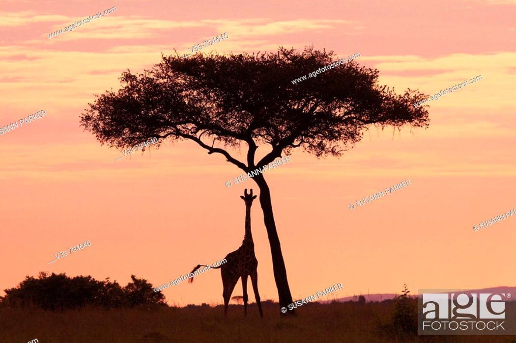 Stock Photo: Masaii giraffe standing near a tree at sunrise, Kenya.
