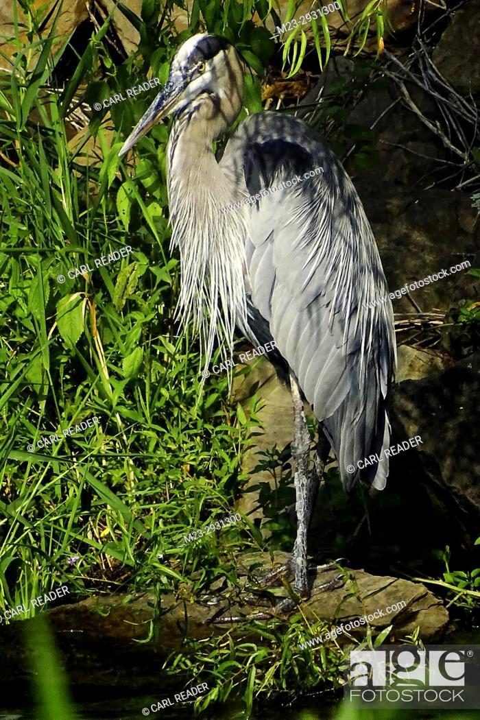 Stock Photo: A great blue heron, Ardea herodias, on a lush summer day, Pennsylvania, USA.