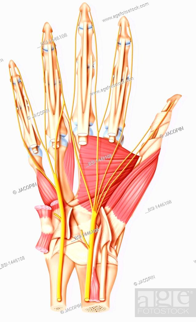 Hand Illustration Palm Of The Hand Bone Muscle Tendons And