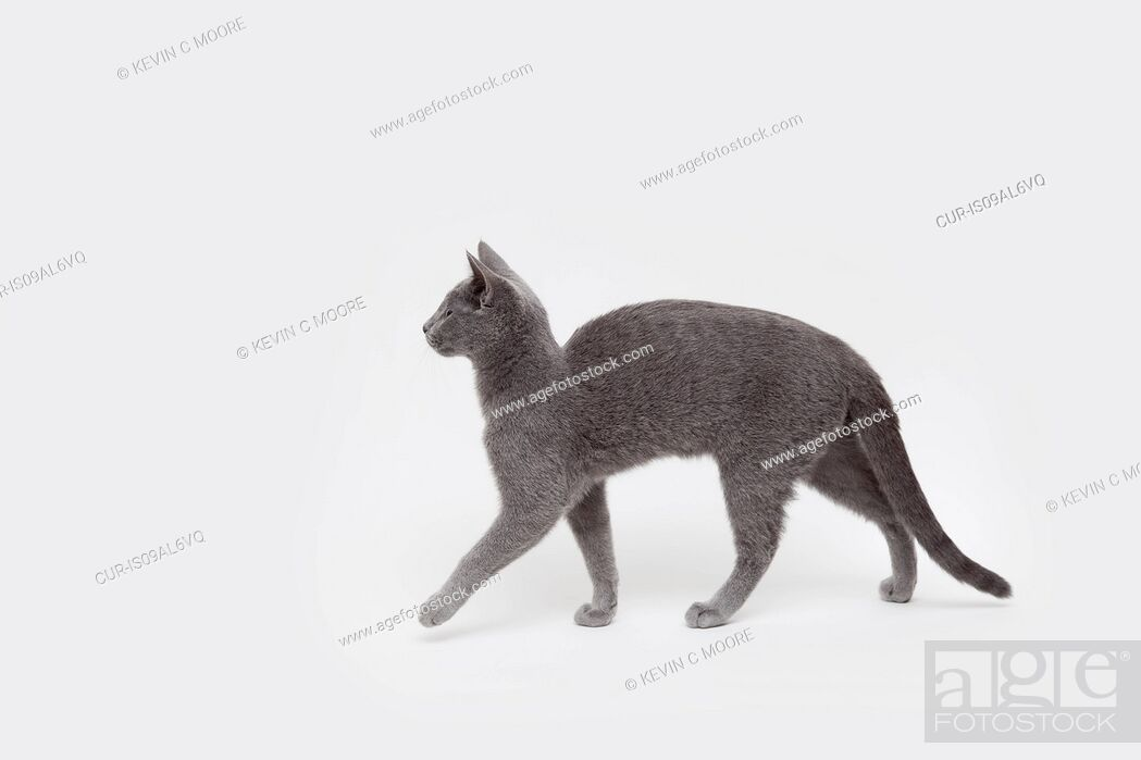 Imagen: Side view studio shot of alert russian blue kitten.