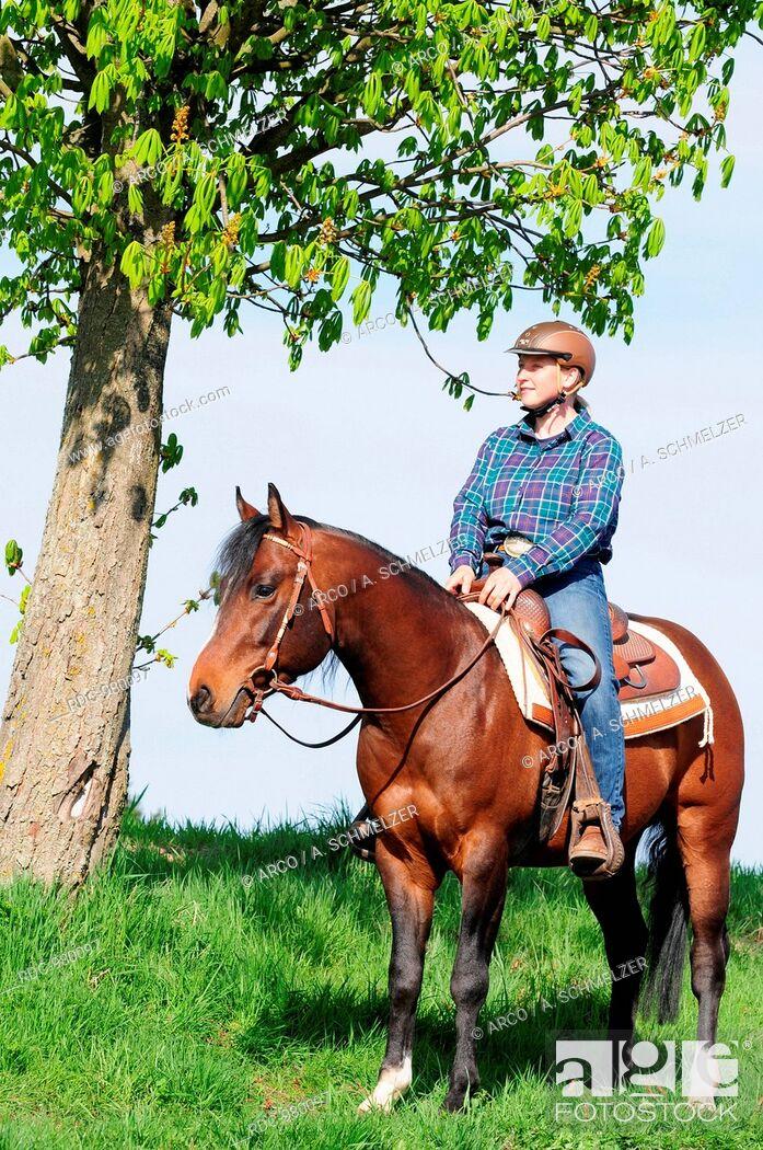 Stock Photo: Rider with American Quarter Horse, stallion, bay.
