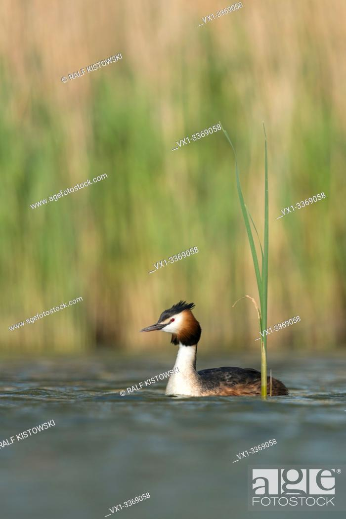 Stock Photo: Great Crested Grebe / Haubentaucher ( Podiceps cristatus ) swimming on a lake in front of reeds, typical, characteristic surrounding, wildlife Europe.