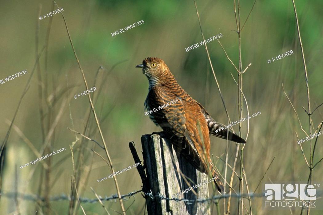 Stock Photo: Eurasian cuckoo Cuculus canorus, female, rubiginose variant.