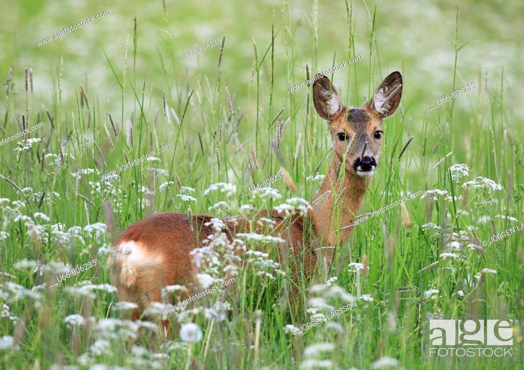 Stock Photo: Roe deer (Capreolus capreolus), Stockholm, Sweden.