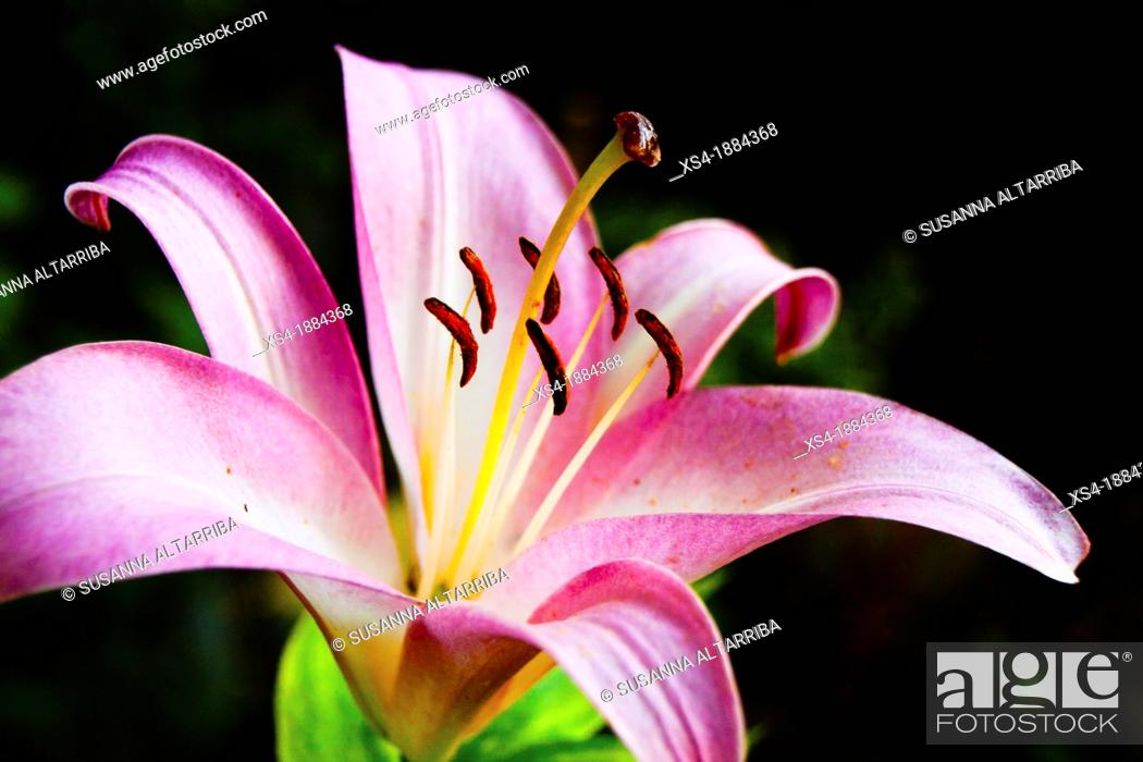 Stock Photo: Lilium pynk perfection group, trumpet lily Liliaceae family, growing from bulbs Showy and Fragrant Flowers The blooms grow on stems to 120cm The flowers 20cm.