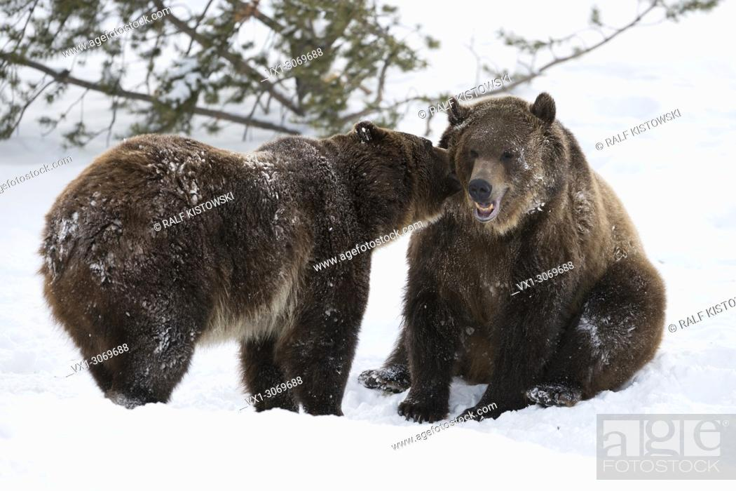Stock Photo: North American Brown Bears / Grizzly Bears (Ursus arctos horribilis) in winter, snow, captive, in funny situation, Montana, USA.