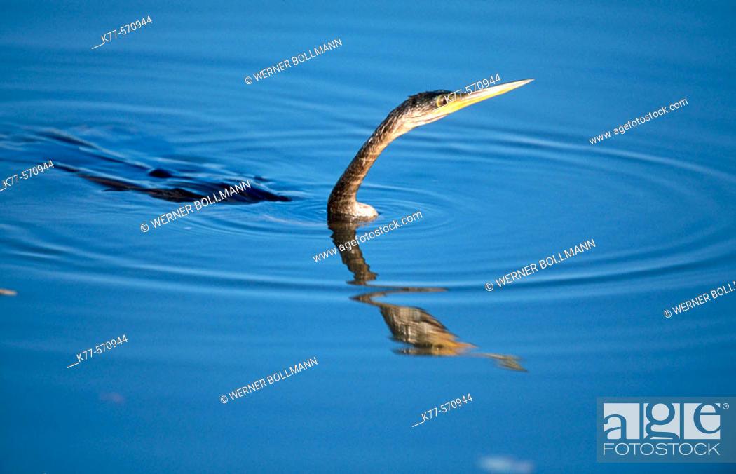 Stock Photo: American darter, fishing (Anhinga anhinga). Sanibel Island, Florida, USA.