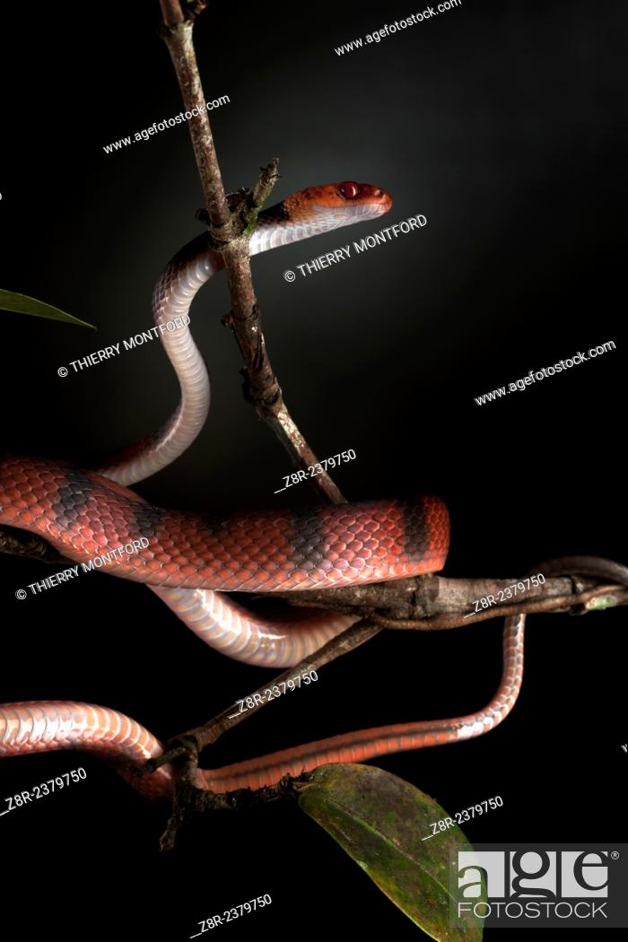 Stock Photo: Siphlophis compressus. opistoglyphous nocturnal tree colubrid . Totally harmless. Kaw Mountain. French Guiana.