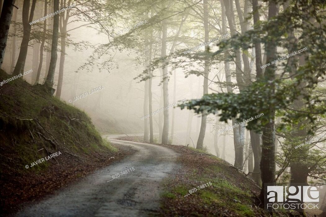Stock Photo: Trail, forest in mist. Belate, Baztan valley, Navarra.