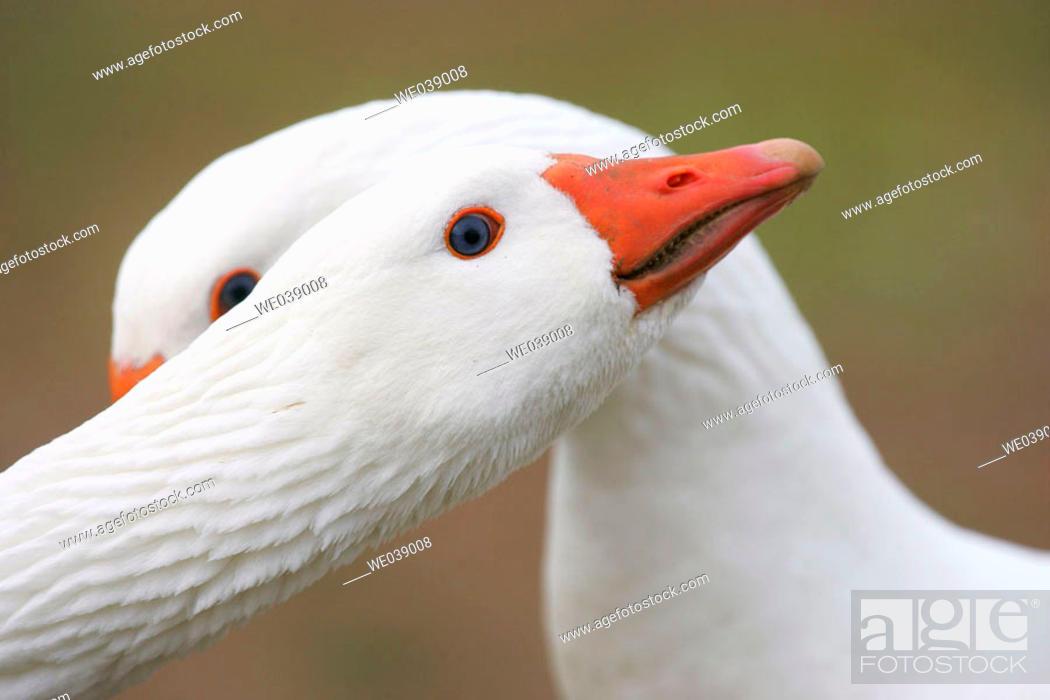 Stock Photo: Geese.