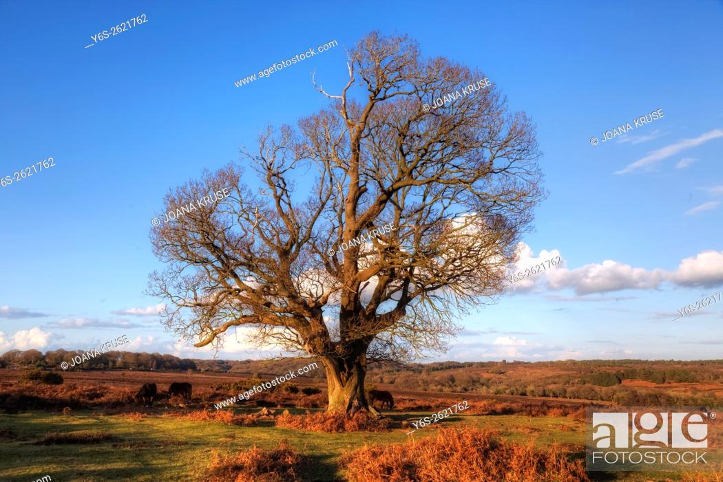 Stock Photo: tree in winter at Mogshade Hill, New Forest, Lyndhurst, England, UK.