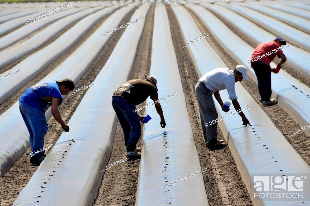 Stock Photo: Migrant farm workers plant tomatoes in raised beds Plant City Florida Central.