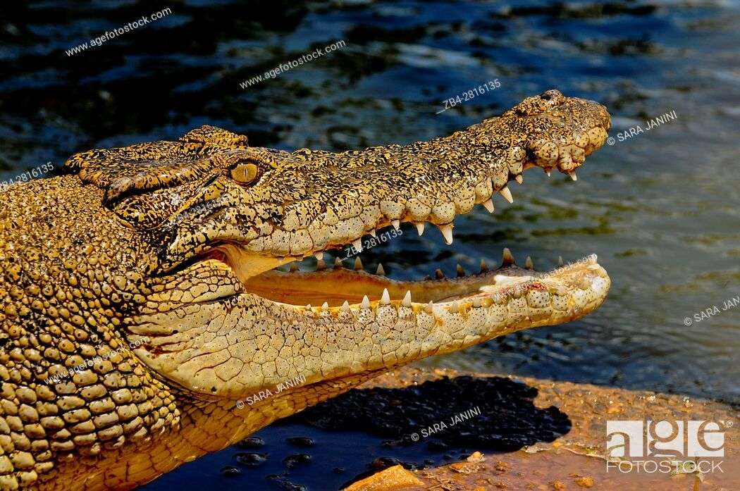 Stock Photo: Crocodylus Park outside Darwin, Northern Territory, Australia, Oceania.
