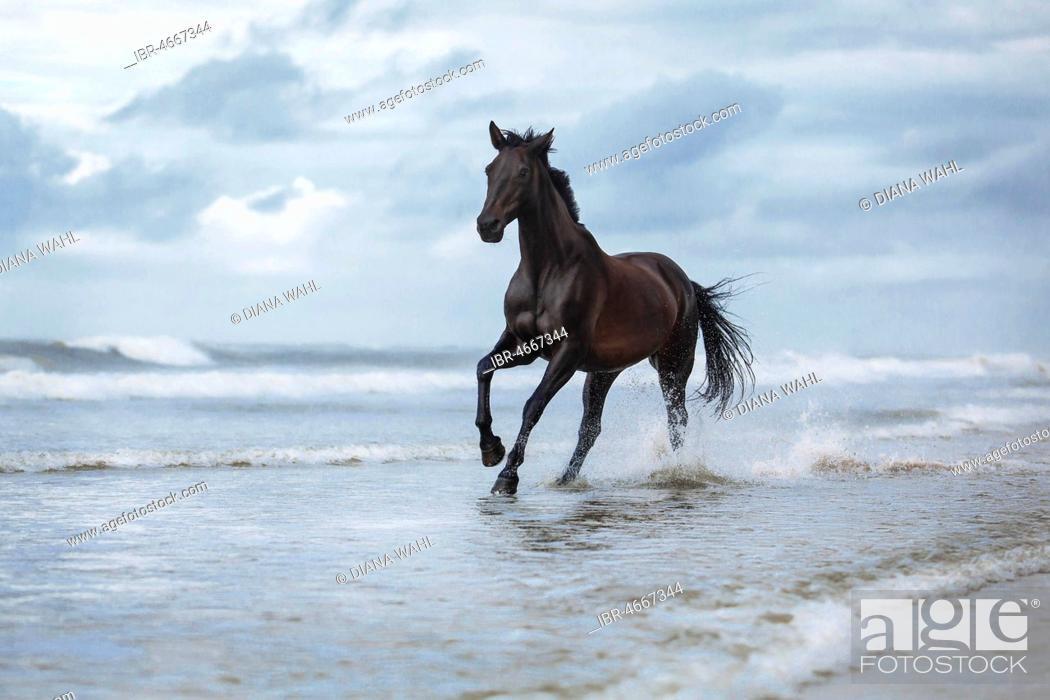 Stock Photo: Black horse, dark horse, warm blood galloping through water on the beach, waves, Langeoog, Lower Saxony, Germany.