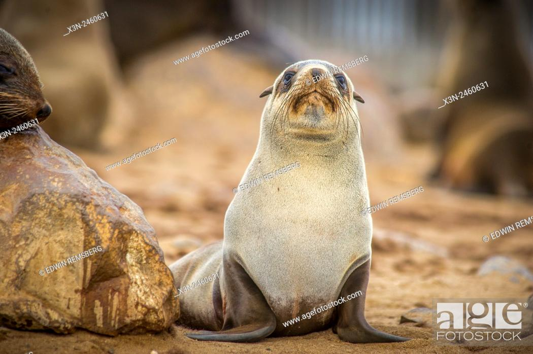 Stock Photo: Cape Cross, Namibia - Portrait of a cape fur seal (pinnipedia) amidst the thousands of seals in the Cape Cross Seal Reserve along the Skeleton Coast.