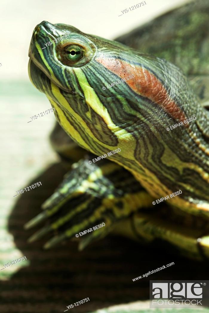 Stock Photo: red-eared slider, Trachemys scripta elegans, thirteen years old adult female.