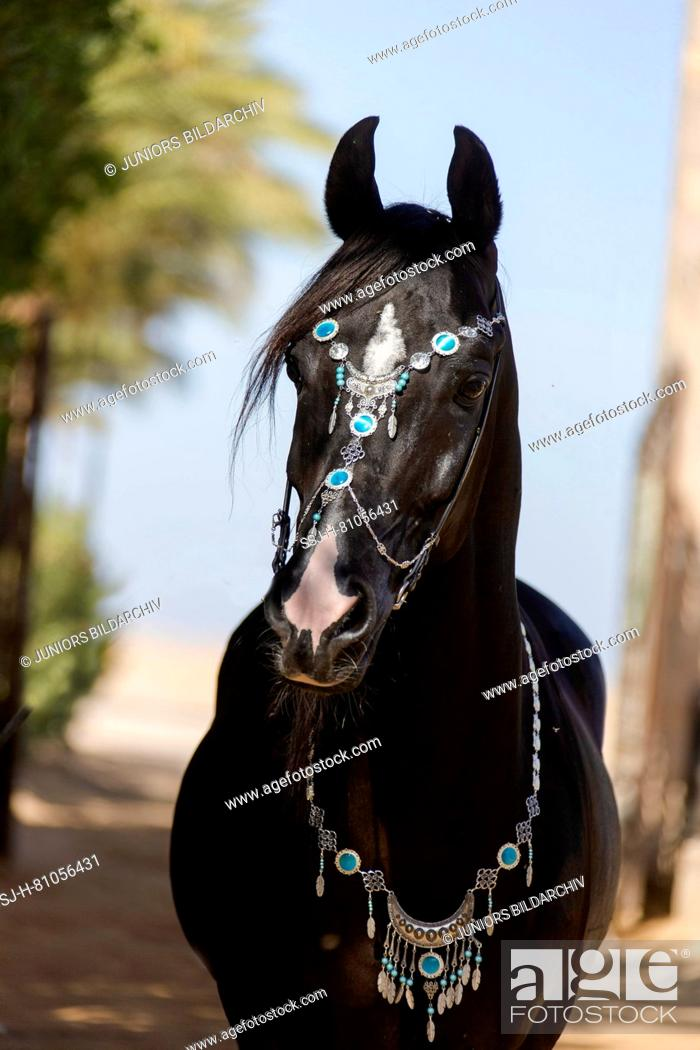Arabian Horse Portrait Of Black Stallion With Traditional Halter Egypt Stock Photo Picture And Rights Managed Image Pic Ssj H 81056431 Agefotostock