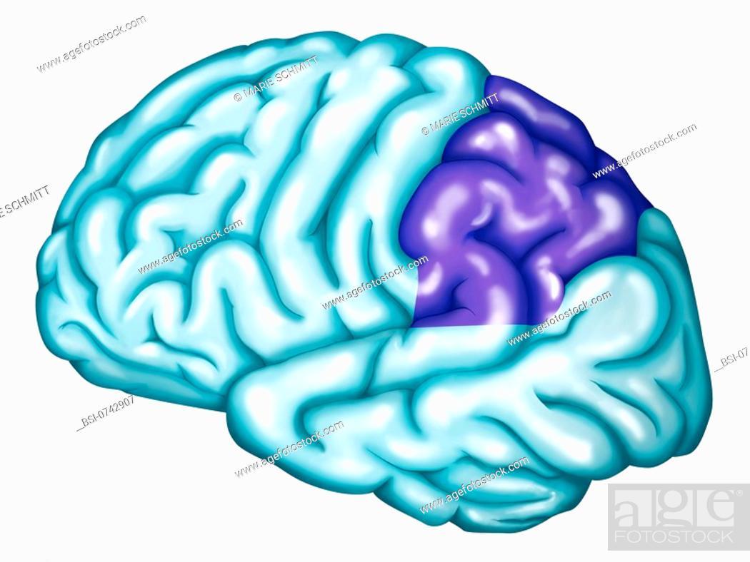 Somatosensory Association Cortex The Somatosensory Association