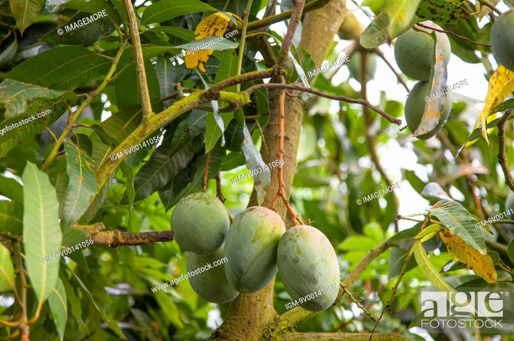 Tainan, Taiwan, Asia, Mango, Fruit Tree, Stock Photo