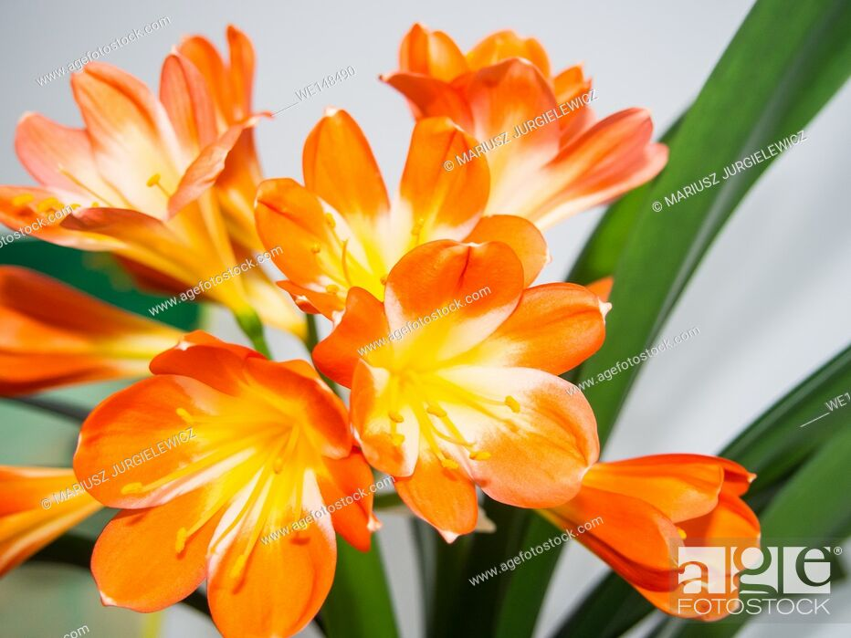 Stock Photo: Natal lily (Clivia miniata is a species of flowering plant native to damp woodland habitats in South Africa.