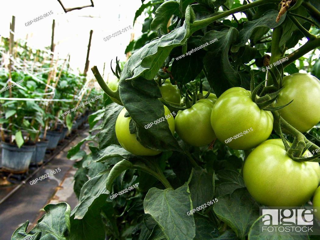 Tomatoes produced, greenhouse, farm Ituaú, Salto, São Paulo
