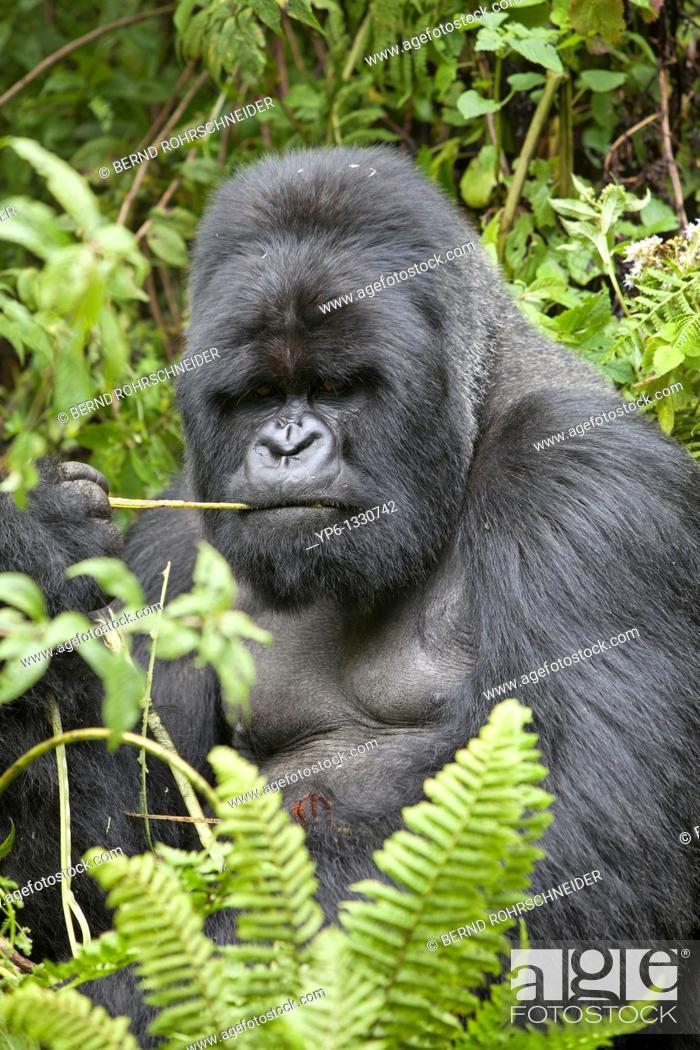 Stock Photo: Mountain Gorilla, Gorilla beringei beringei, portrait of a silverback sitting in vegetation, Volcanoes National Park, Rwanda.