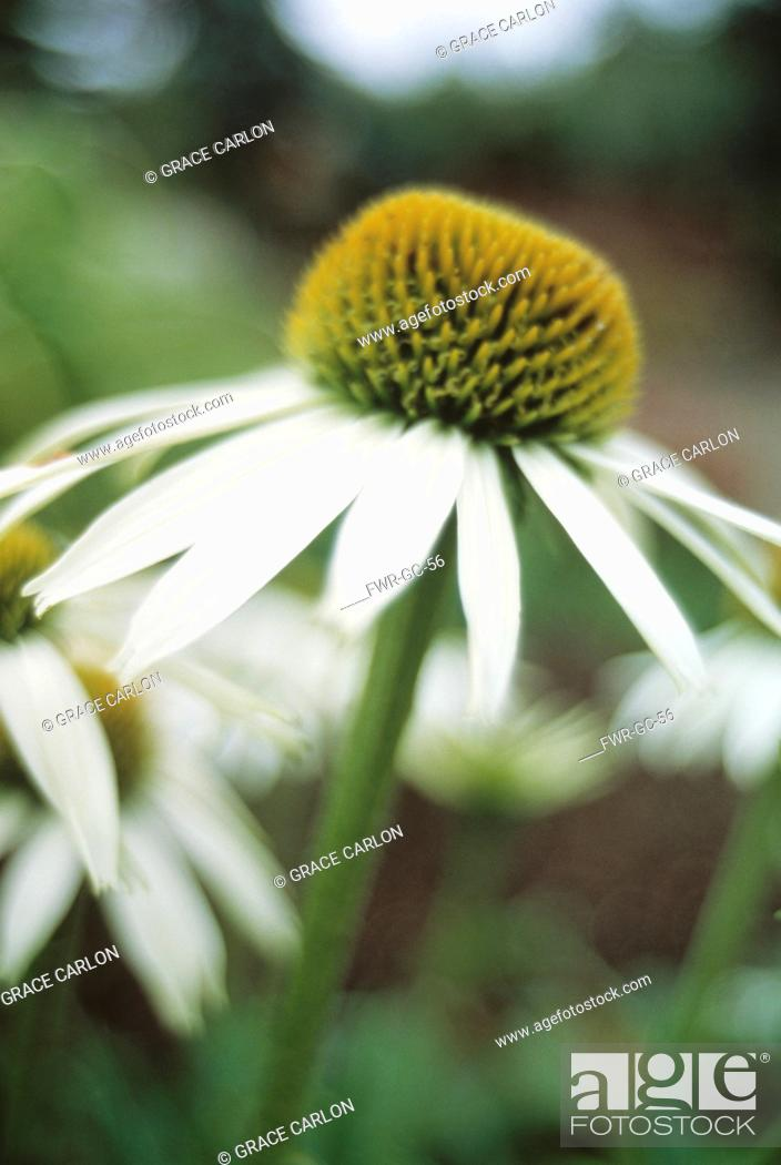 Stock Photo: Echinacea purpurea 'White Lustre', Echinacea / Purple coneflower.