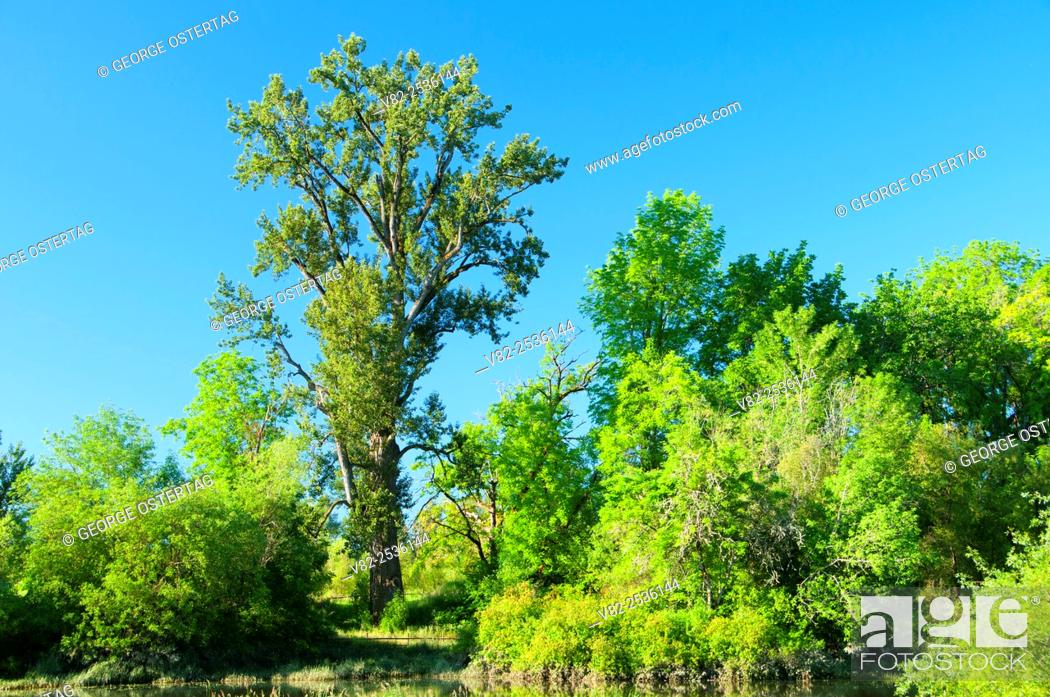 Stock Photo: World's largest Black Cottonwood, Willamette Mission State Park, Oregon.