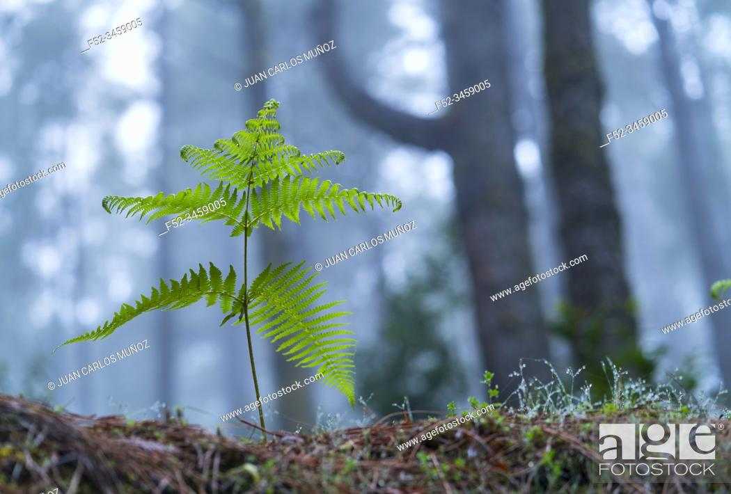 Photo de stock: Ferns and Canary Island pine forest, El Pilar, El Paso Municipality, La Palma island, Canary Islands, Spain, Europe.