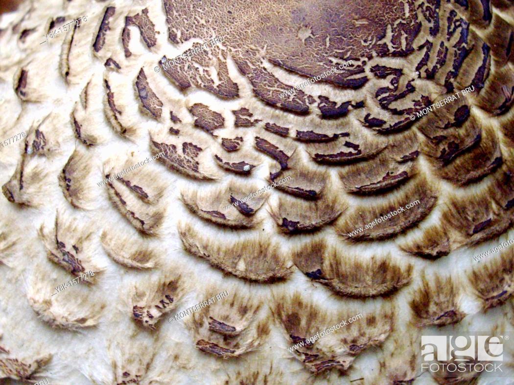 Stock Photo: Mushroom Macrolepiota Procera.