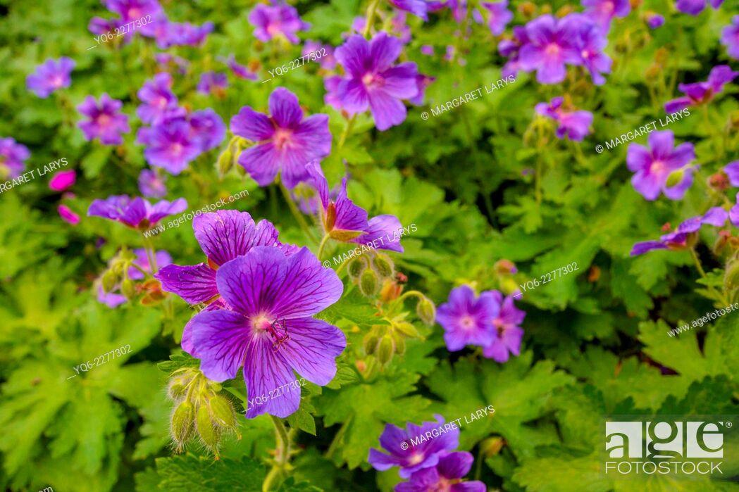 Stock Photo: Beautiful blue geranium flowers in the garden, London, UK.