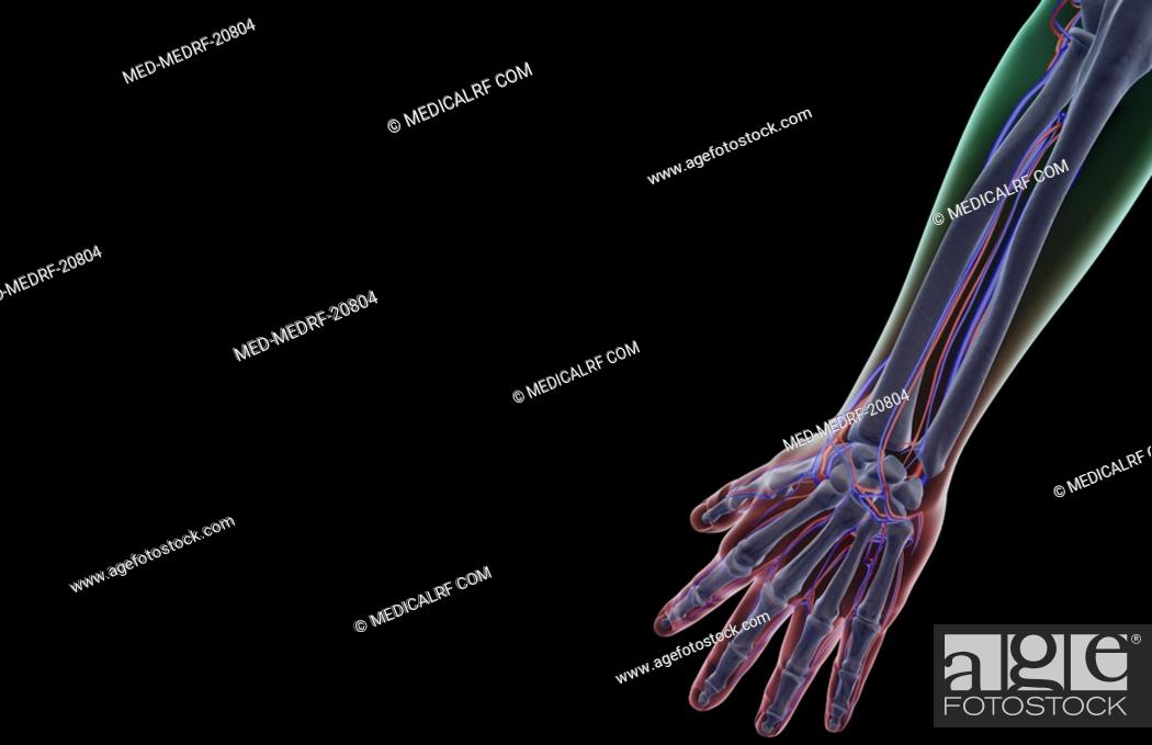 Stock Photo: The blood supply of the forearm.